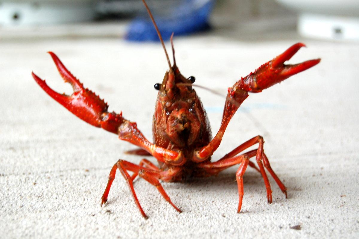 Crawfish- Dreams Interpretation - Life 'N' Lesson