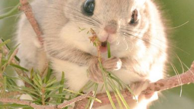 Photo of Japanese And Siberian Flying Squirrels Are The Cutest Animals On Earth