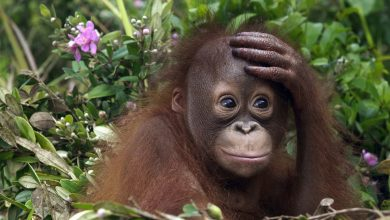 Photo of Apes may be capable of speech, new study suggests