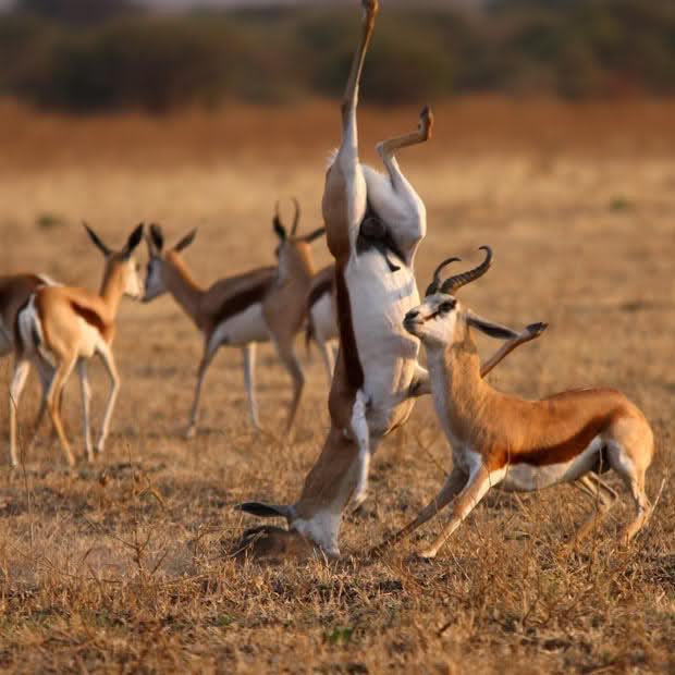 Gazelle- Dreams Interpretation - Life 'N' Lesson