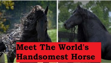 Photo of The World's Handsomest Horse, Frederik The Great, May Be Better Looking Than Most People You Know