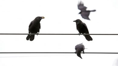 Photo of When a crow dies, other crows investigate