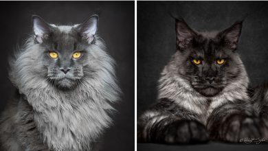 Photo of Mythical Beasts: Photographer Captures The Majestic Beauty Of Maine Coons